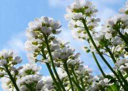 It's in the genes: Research pinpoints how plants know when to flower