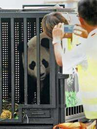 Jia Jia, one of two giant pandas on loan from China, looks out from her cage