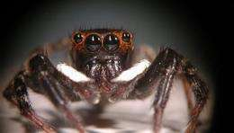 Jumping spider uses fuzzy eyesight to judge distance