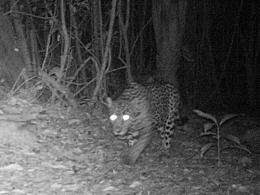 Jungle cats caught on camera in Belize
