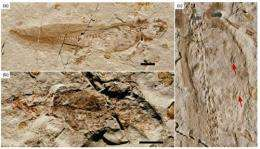 Jurassic salamanders with stomach contents found from Inner Mongolia