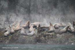 Juvenile predation preventing Steller sea lion recovery