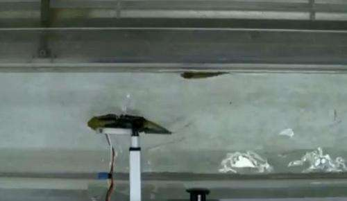Robot fish found able to lead real fish (w/ video)