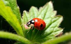 Ladybirds thrive on organic aphids