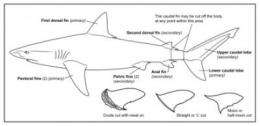 Law that regulates shark fishery is too liberal: UBC study