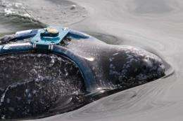 Leatherback turtle migration study identifies Pacific danger zones for endangered species