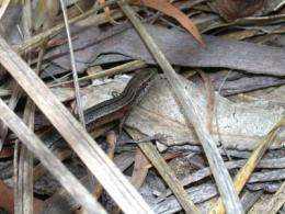 Lizard moms may prepare their babies for a stressful world