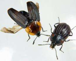 Loss of flight promotes beetle diversification