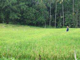 More carbon dioxide in the air could threaten rice crops