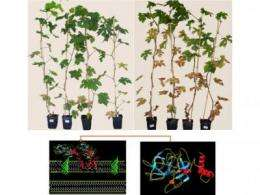 More grapes, less wrath: Hybrid antimicrobial protein protects grapevines from pathogen
