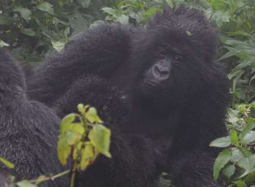 Mountain gorillas now the only great ape with clear signs of increasing population despite continued pressure on habitat
