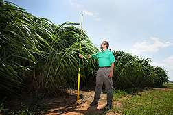 Napiergrass: A potential biofuel crop for the sunny Southeast