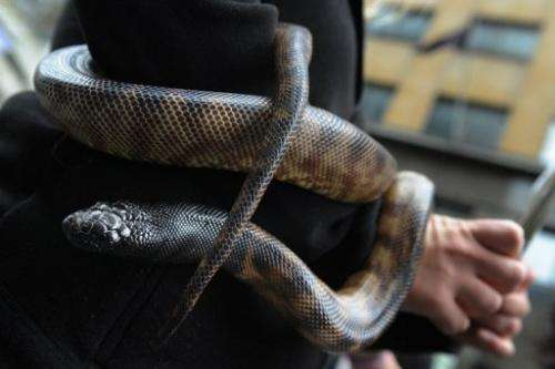 Nearly a half million python skins are exported each year—almost exclusively for use in European fashion