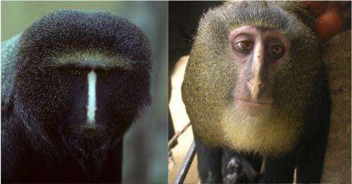New African monkey species identified