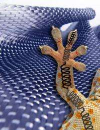 New gecko insights inspire even stronger adhesives