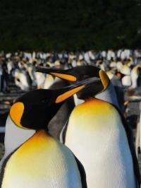 Not so happy: King penguins stressed by human presence