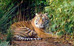 Nowhere to hide: Study finds future of Sumatran tigers threatened by human disturbances