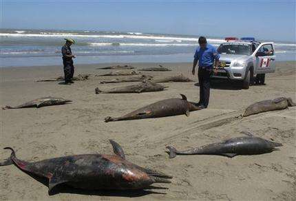 Official: Dolphin deaths in Peru still a mystery (AP)
