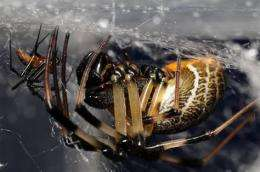 Orb web spiders found to be better guards after sex
