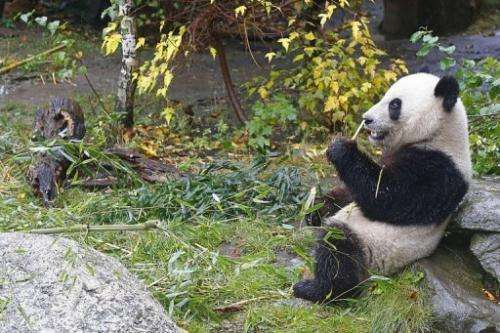 Panda Fu Hu eats bamboo at the Schoenbrunn zoo in Vienna on October 16