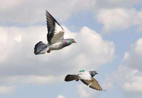 Passenger pigeons help to navigate
