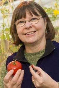 Wild tomatoes could unlock secrets of fungus behind irish potato famine, researcher says