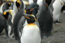 Penguin colony flourishing after being driven to brink of extinction