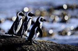 Penguins are pictured in Simon's Town near Cape Town, South Africa, in 2011