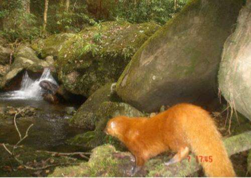 Rare golden mongoose found in Aceh