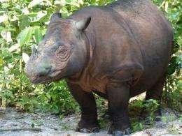 Ratu, a critically endangered Sumatran rhinoceros, gave birth to a male baby on Saturday at an Indonesian sanctuary