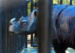 Ratu's partner Andalas (seen here in 2007) was the first Sumatran rhino born in captivity in over 112 years