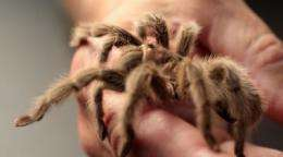 Real-life spider men using protein found in venom to develop muscular dystrophy treatment