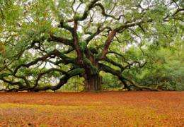 Research into oaks helps us understand climate change