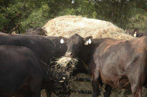 Rumen-fluid-based analysis gives ranchers more definitive source of best-digested forages