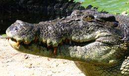 Saltwater crocodile breeders to benefit from genome sequence