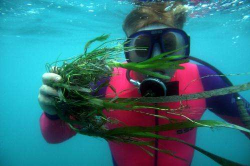 Seagrasses make full recovery after flood