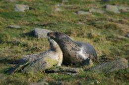 Seals gamble with their pups' futures