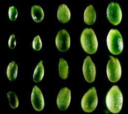Seed size is controlled by maternally produced small RNAs, scientists find