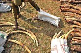 Seized elephant tusks in Kenya