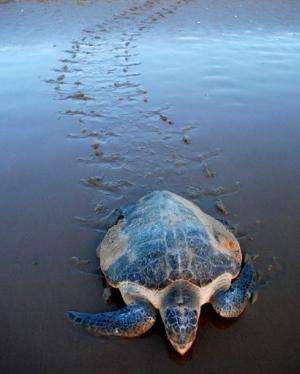 Several species of sea turtle, including the Olive Ridley (pictured on March 8, 2011) nest on the shores of Sundarbans