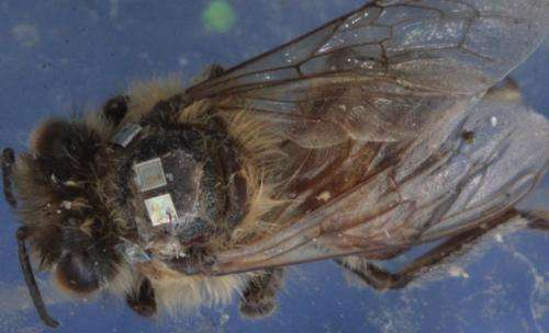 SF State biologists tag 'zombees' to track their flight