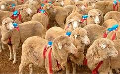 Sheep backpacks reveal flocking strategy