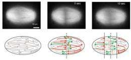Slicing mitotic spindle with lasers, nanosurgeons unravel old pole-to-pole theory