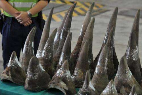 Smuggled rhinoceros horns are displayed in Hong Kong's Customs and Excise Department Offices