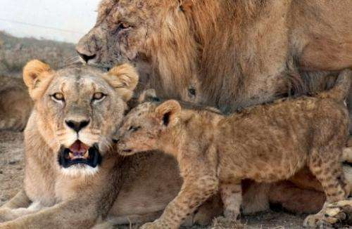 Some observers say Atlas lions are larger than its sub-Saharan relatives, weighing 225 kilos or more