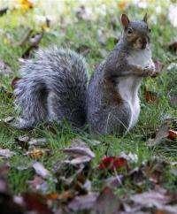 Squirrel population boom frustrates fruit growers