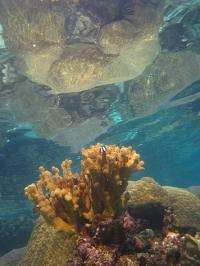 Stanford marine biologists search for the world's strongest coral