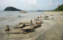 Stranding occurs when whales get disoriented and are unable to swim back into deep water