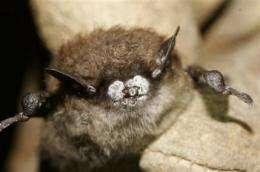 Study: Fungus behind bat die-off came from Europe (AP)