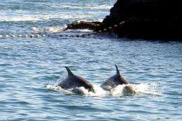 Taji town caught 928 dolphins in 2011, according to Wakayama prefecture